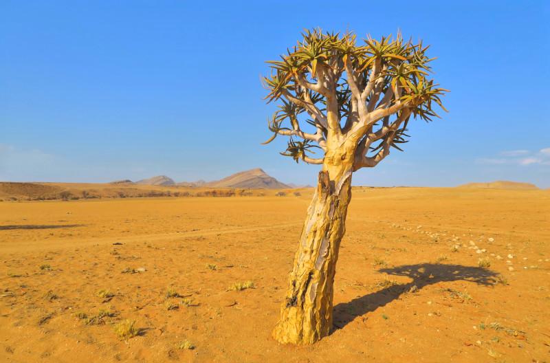 Köcherbaum vor blauem Himmel